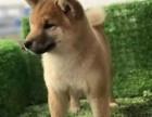 天津纯种柴犬价格,天津哪里能买到纯种柴犬