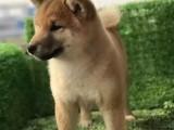 银川纯种柴犬价格,银川哪里能买到纯种柴犬