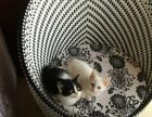 转让2只小奶猫