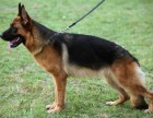 全科目德牧便宜出售 德国牧羊犬价格