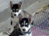 纯种的三火蓝睛哈士奇幼犬,疫苗齐全,可上门挑选