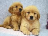 桂林出售金毛犬,疫苗驱虫已做,可