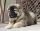 西昌卖狗西昌卖高加索西昌买高加索西昌狗场出售纯种高加索
