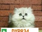 自家繁育金吉拉 幼猫公母都有可看到父母欢迎来选