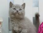 纯种英短包子脸蓝猫活体 立耳短毛猫 宠物猫