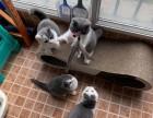 大型猫舍专业繁殖(蓝猫)(蓝白)个个胖虎大包子脸