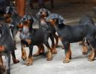 西昌卖狗西昌卖杜宾西昌买杜宾西昌狗场出售纯种杜宾