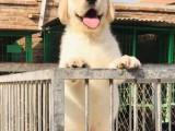 呼和浩特出售纯种纯种拉布拉多幼犬 拉布拉多幼犬出售