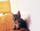 出售两只钢纹虎斑小猫咪