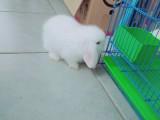 健康垂耳兔求领养!