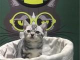 北京通州纯种美短虎斑幼猫虎斑猫多少钱能买