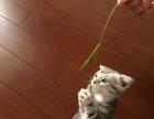 美国短毛折耳虎斑母猫