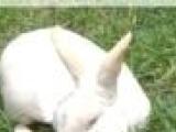 虎皮黄肉兔;德系獭兔
