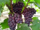 徐州水果,果苗供应,最大的水果种植基地