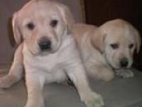 上海出售拉布拉多犬賽級純種拉布拉多幼犬活體 寵物