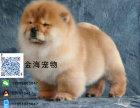 出售活泼可爱纯种宠物狗狗,雄壮威风大头松狮幼犬