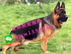 崖出售纯种德国牧羊犬 2个月-成年犬都有 全国包邮