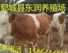 育肥小公牛养殖