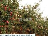 苹果树双矮苹果新品种(青砧一号)