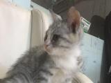 加菲猫,美短,加菲跟长毛猫的混血宝宝