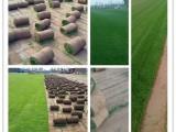 供應唐山草坪銷售綠化唐山銷售草坪天津草坪銷售天津草坪綠化