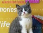 英国短毛猫英短蓝白纯种宠物猫咪活体幼猫CFA猫舍