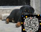 罗威纳幼犬出售品相好,头版好骨量大要的联系