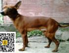 哪里有卖小鹿犬小鹿犬多少钱小鹿犬图片小鹿犬幼犬