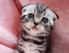 正规猫舍售高品质纯血统 折耳猫 签署质保 对外借配