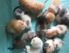 杭州南京苏州宁波加菲金吉拉豹蓝暹罗无毛猫较低多少钱 双飞猫
