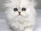 杭州自家繁殖宠物猫布偶英短美短蓝猫蓝猫虎斑加白