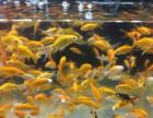 饲料鱼吃的小金鱼,30条以上批发价