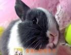 家繁殖宠物垂耳兔猫猫兔