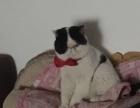 自家繁育带血统加菲接受预定可上门看猫