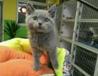 家养繁殖精品蓝猫 包纯种健康 多只可选 可上门看