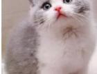上海英短哪里买?英国短毛猫多少钱一只