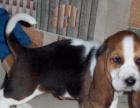 养殖场直销一纯种巴吉度猎犬一包养活一签协议