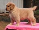 南昌纯种金毛犬多少钱 在南昌什么地方能买到纯种金毛犬