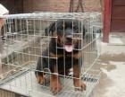 重庆狗场直销,纯种罗威纳幼犬,三个月包退换签协议送用品