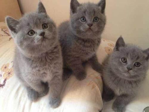 临沂哪里有猫舍英短蓝猫,银渐层,折耳猫