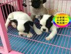 上海哪里有卖斗牛犬的 斗牛犬多少钱一只 斗牛犬体味大吗