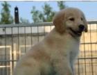 上海出售 大头金毛幼犬 健康有保障,送用品