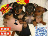 上海哪里有卖小鹿犬的 小鹿犬一般多少钱 小鹿犬好养吗