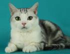 脸猫网出售12个月-美国短毛猫-MM