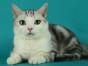 脸猫网 12个月-美国短毛猫-MM
