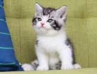 广州 家庭猫舍 繁育优质美短加白猫