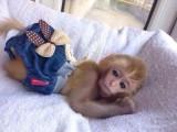 袖珍石猴多少钱一只