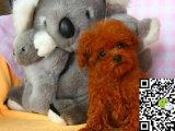 出售玩具迷你标准贵宾 实照看狗 可上门很可爱