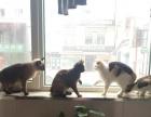卖自家三花猫和暹罗猫生的四只可爱的小猫