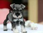 中国专业繁殖双血统雪纳瑞犬舍 可以上门挑选